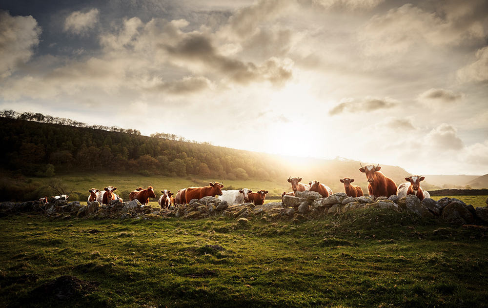 Shorthorn North Yorkshire, Great Britain © Werner Lampert GmbH, Photo Ramona Waldner
