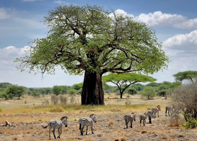 Baobao tree and zebras passing by in Serengeti, Tanzania.