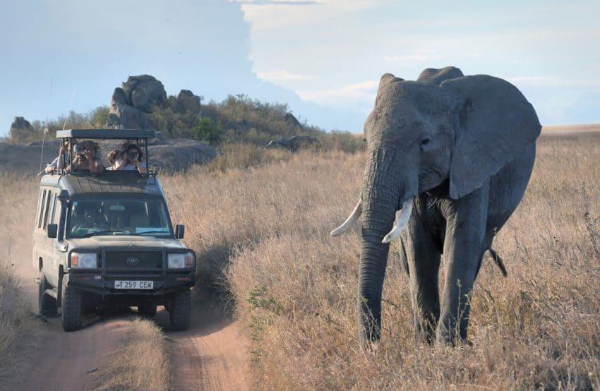 Elephant ignoring 4X4 crossing the road in Tanzania.