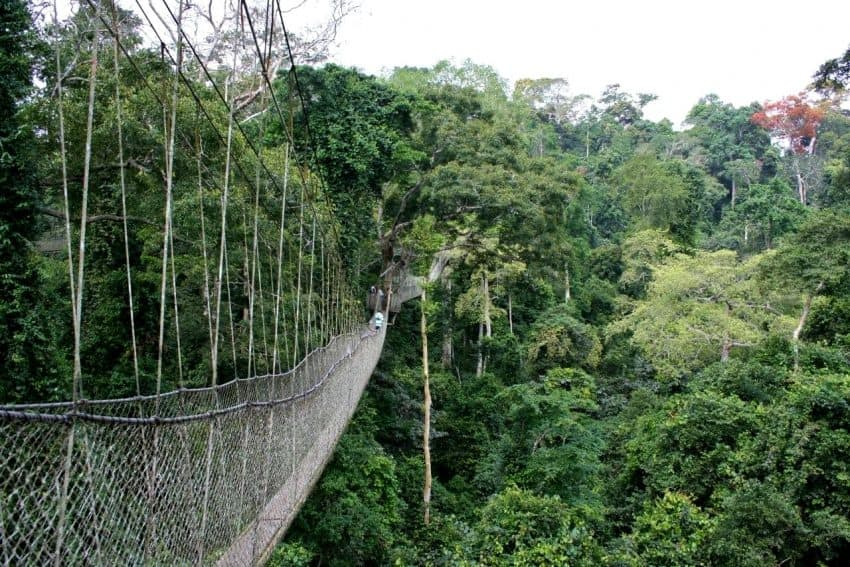 Nyungwe Forest is home to the only canopy walk in East Africa reaching 70 meters above the forest floor.