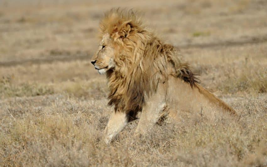 Lion on Serengeti plains
