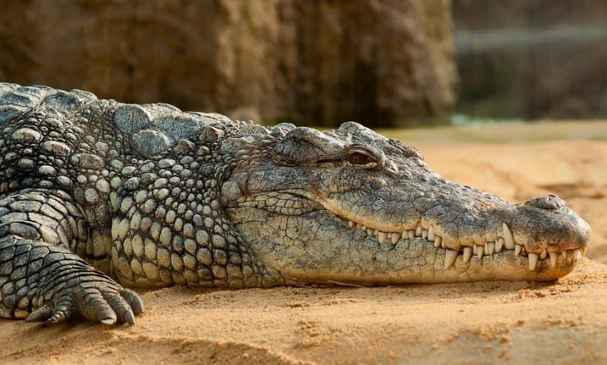 Africa's largest freshwater predator, the Nile crocodile.