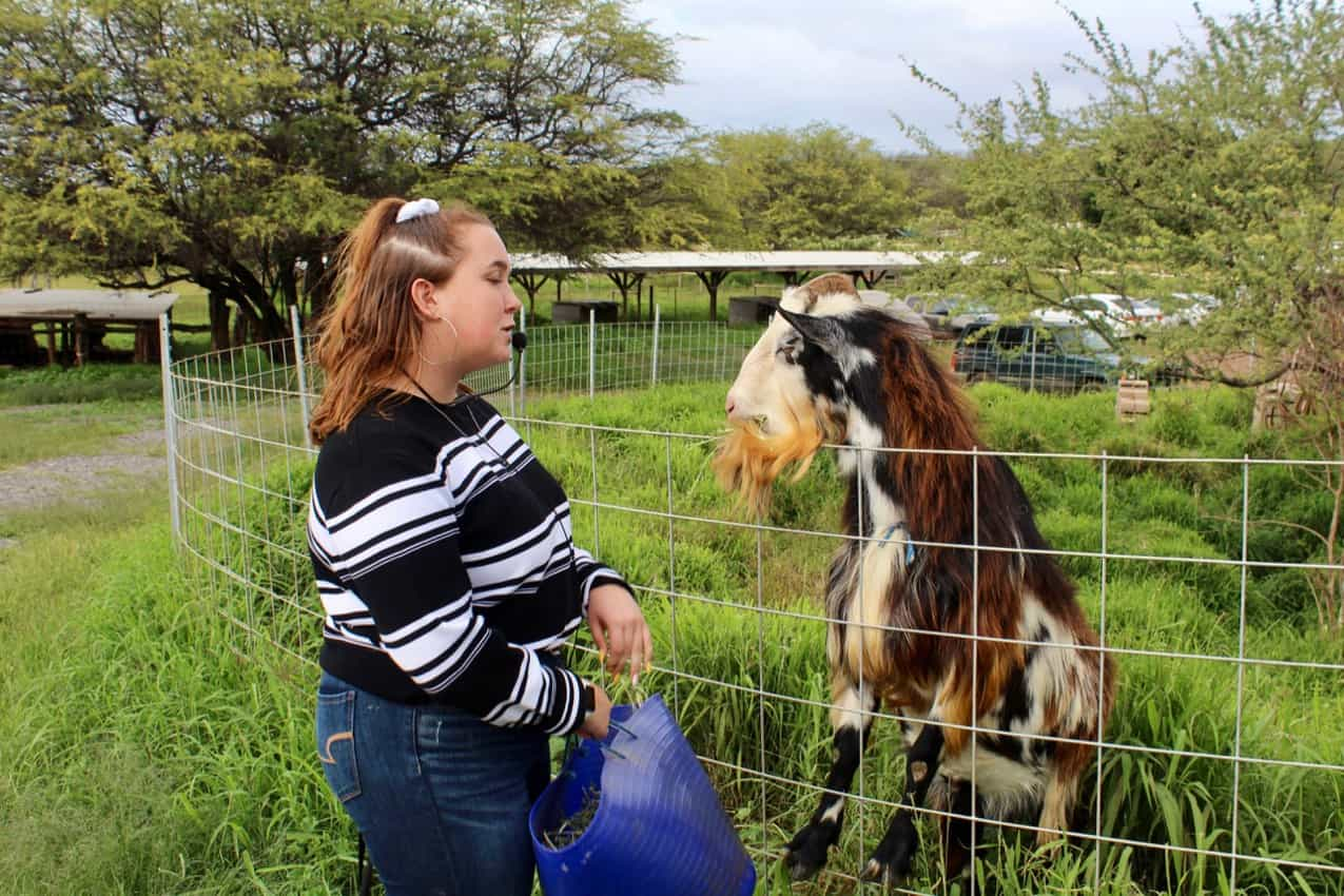 Getting to know a New Zealand goat as a WWOOF er.