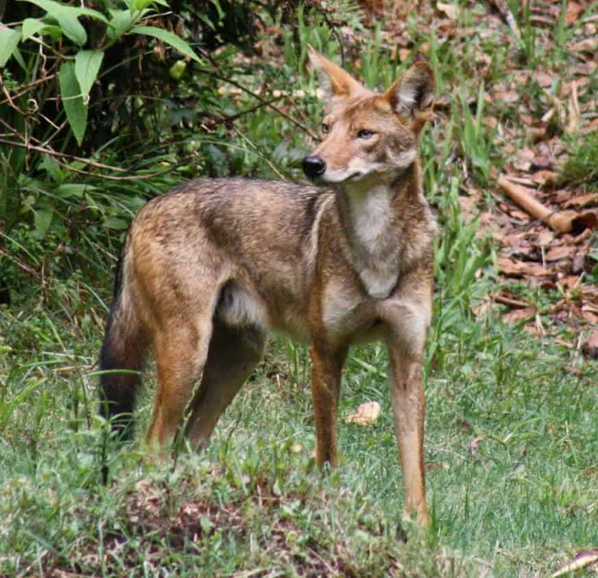 A coyote in the wild.