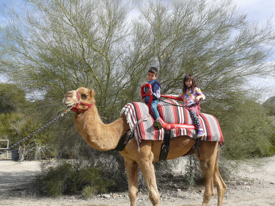 Camel rides at The Living Zoo in Palms Deseert, California