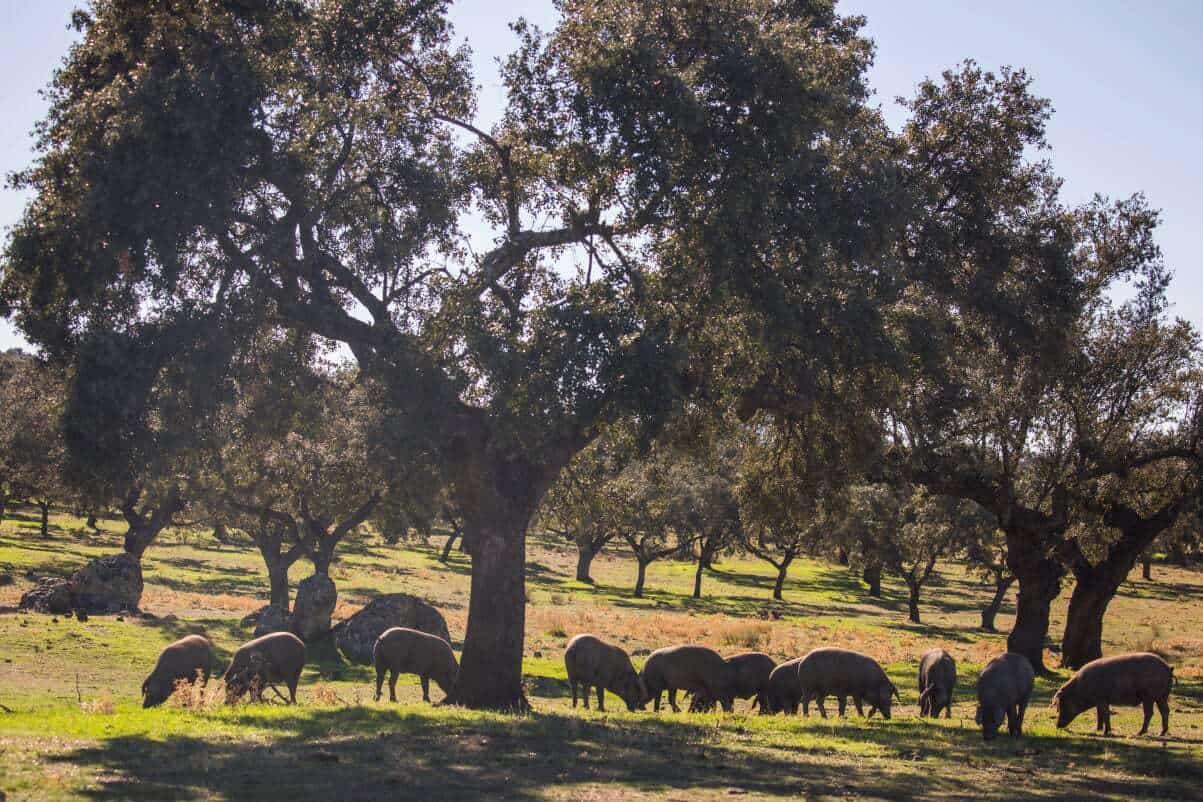 Iberian pigs feasting on acorns in Extremadura, Spain.