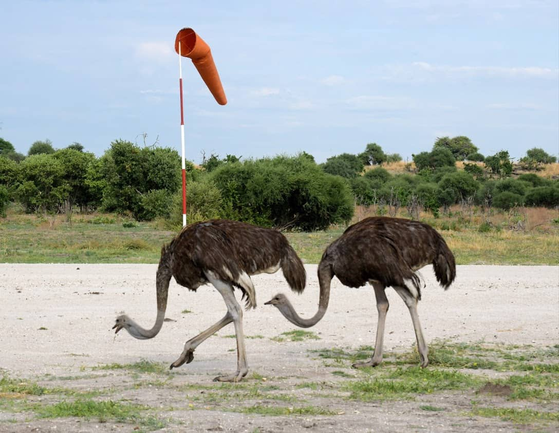 Ostriches line the airstrip runway.