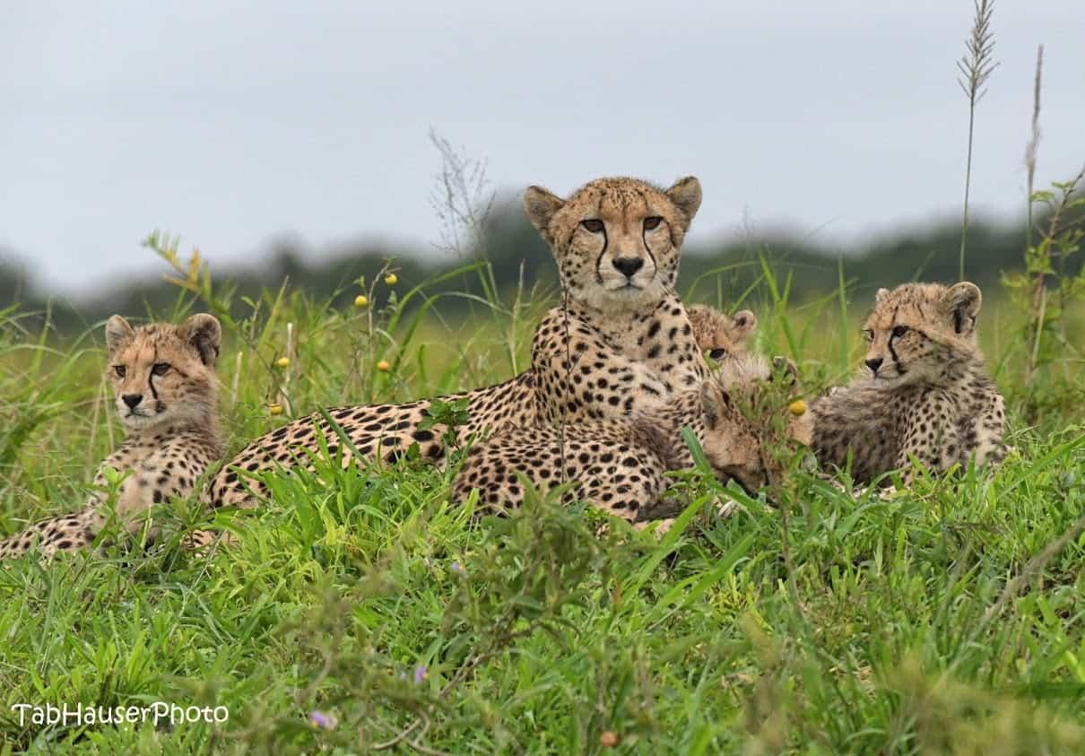A family of cheetahs.