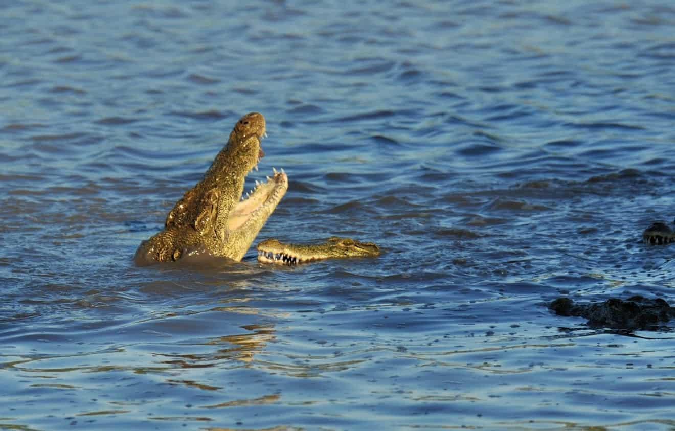 Crocodile swallowing fresh antelope