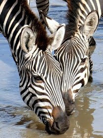 South Africa and Botswana Game Parks 16