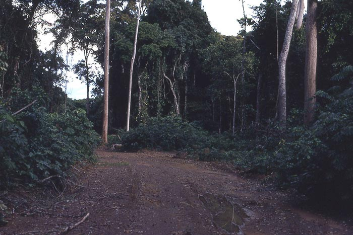 A typical logging road in Africa, courtesy Wikipedia