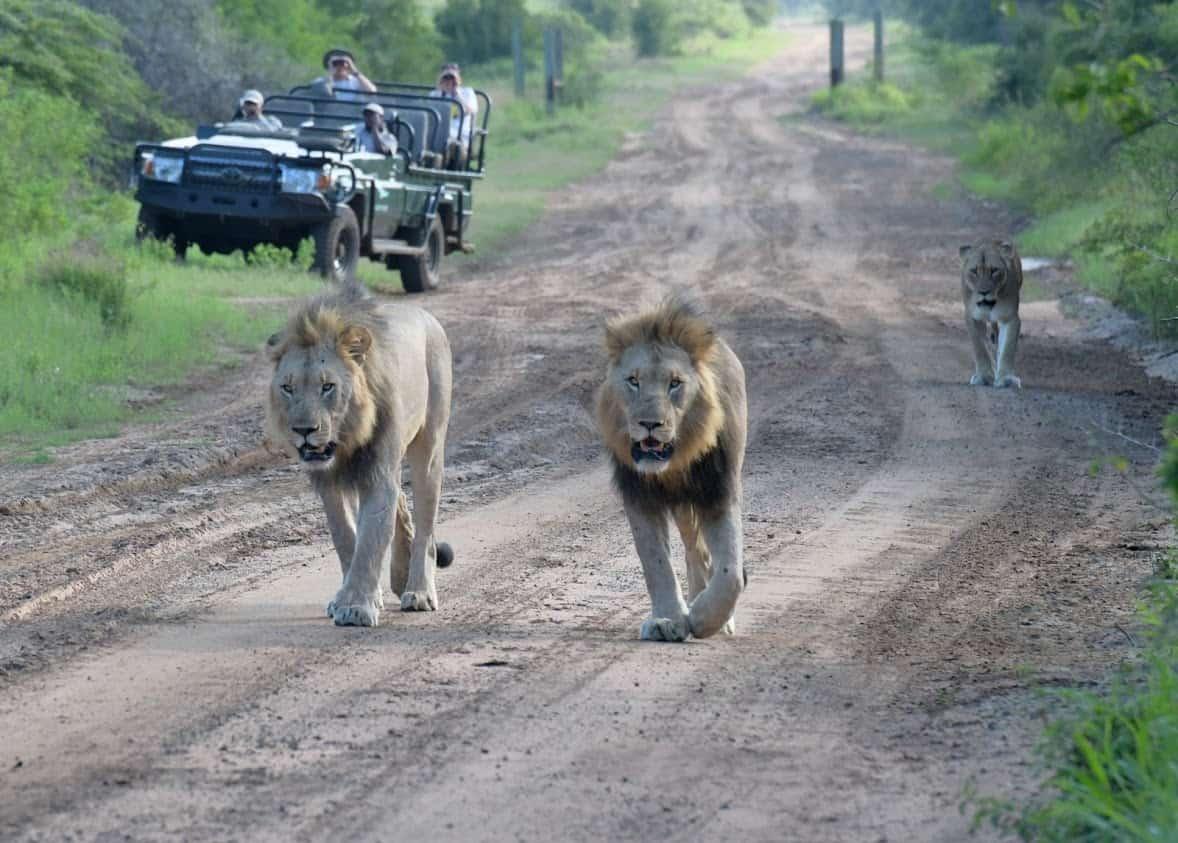 Older lion cubs walking towards mom