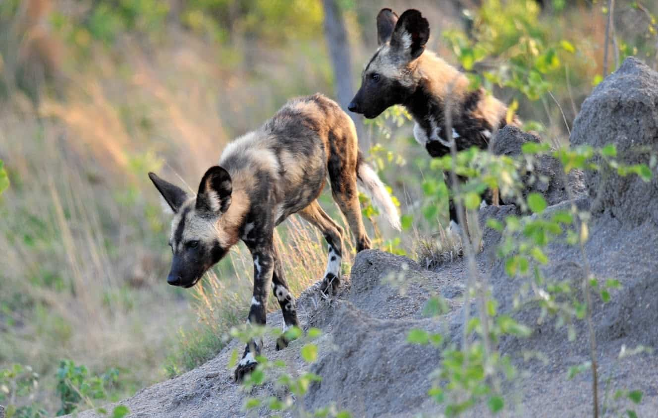 Wild dogs are a rare site in Kruger
