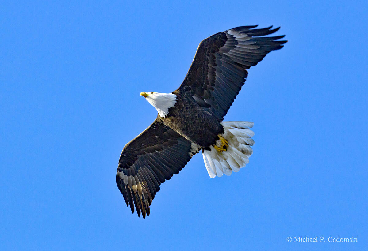 When the Delaware Water Gap National Recreation Area was established many people thought it was only a matter time until the bald eagle would be extinct in the Lower-48. Today thanks to a ban on certain pesticides and wise management it is fairly common year round in the park.