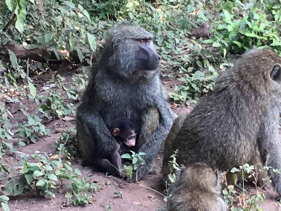 At Lake Manyara National Park, A baboon mother keeping her baby close.
