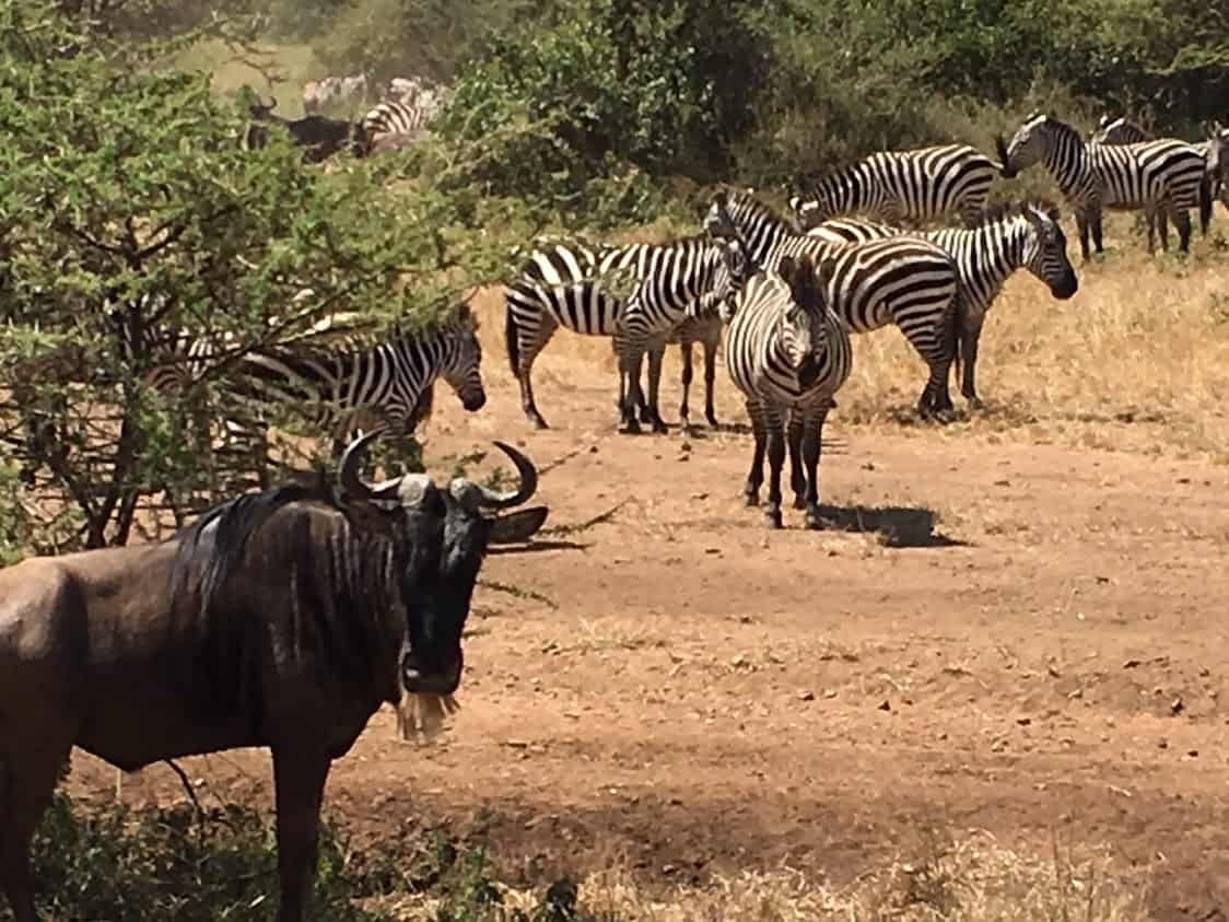 Some zebra and wildebeests checking us out on their great migration
