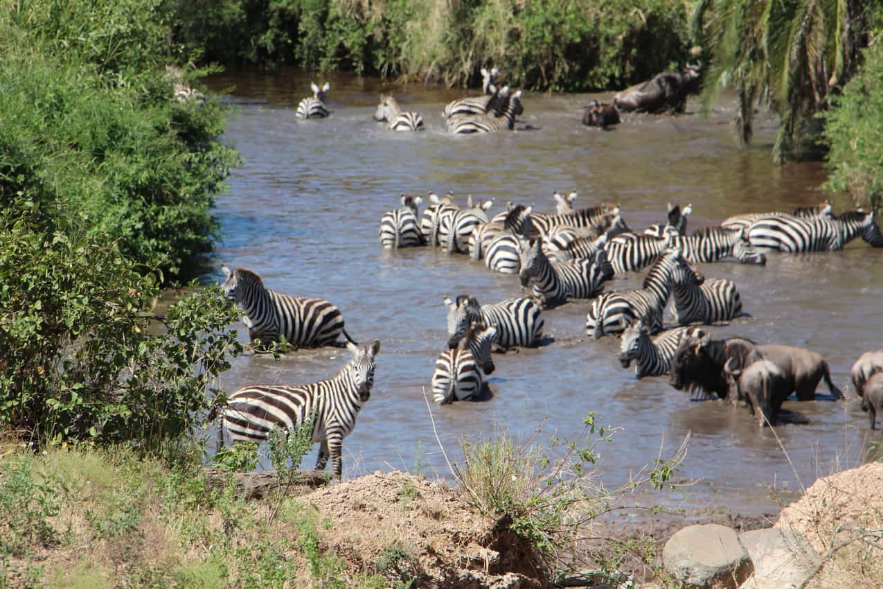 Zebras gather at a watering hole in Tanzania. Margot Black photos.
