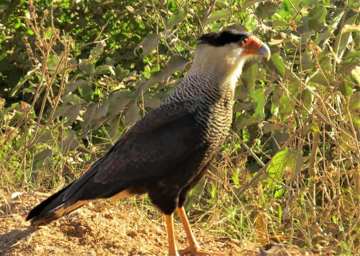 Pantanal, Brazil: Magnificent Creatures Abound! 1