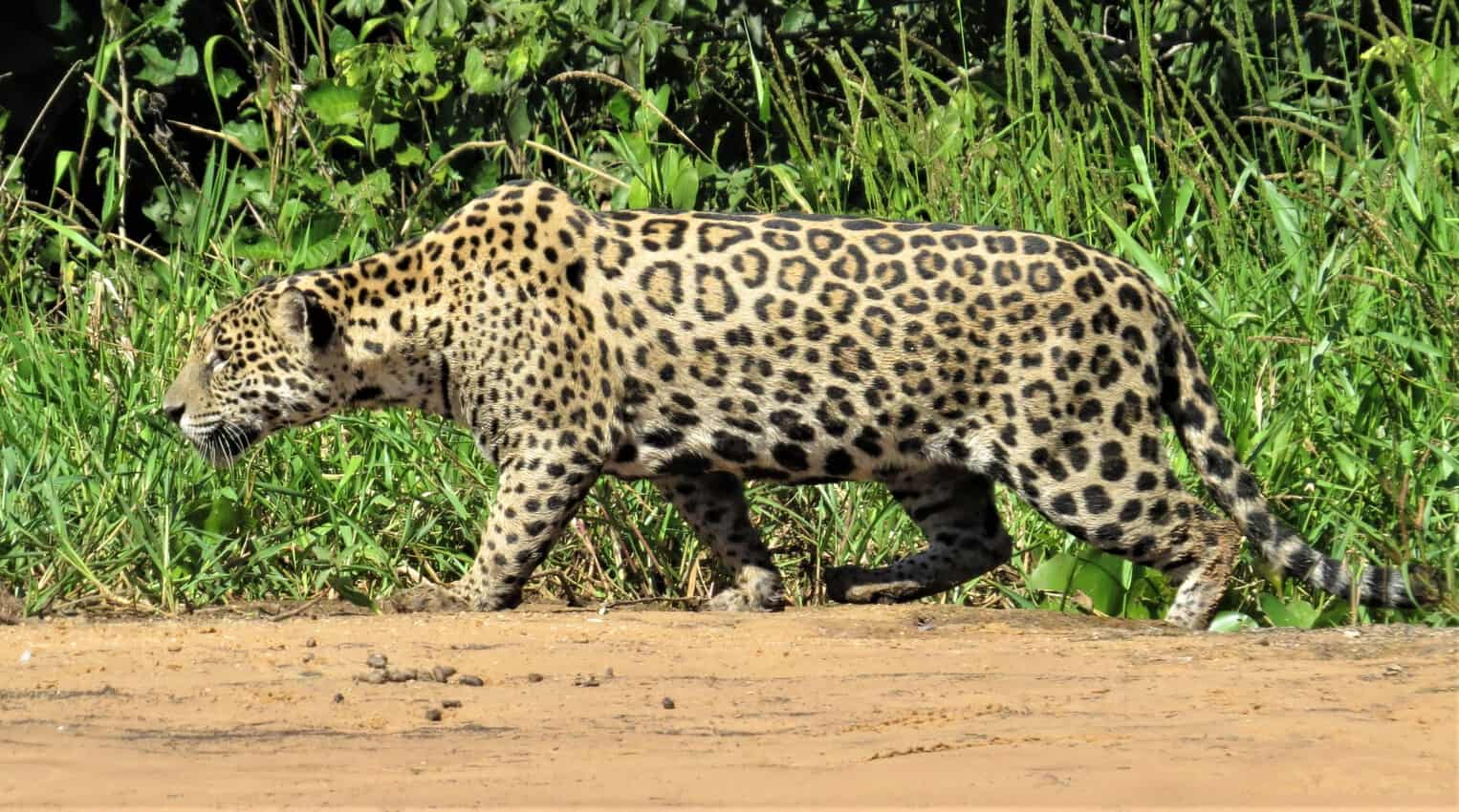 Pantanal, Brazil: Magnificent Creatures Abound! 7