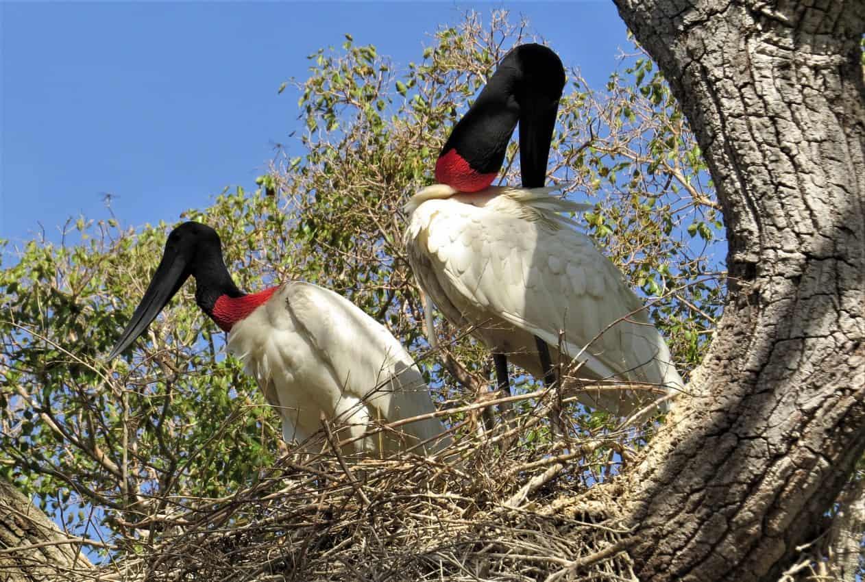 Pantanal, Brazil: Magnificent Creatures Abound! 11
