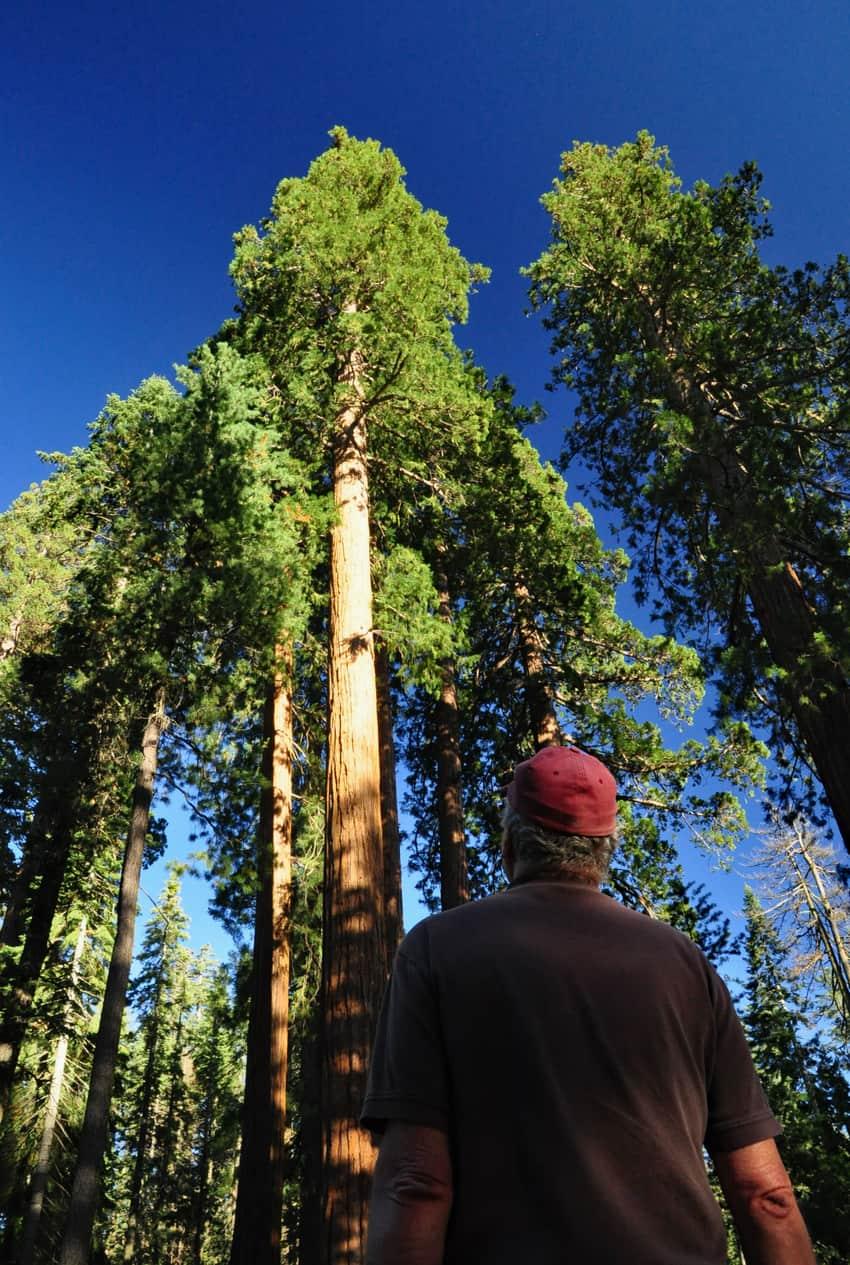 Giant sequoias in Mariposa Grove