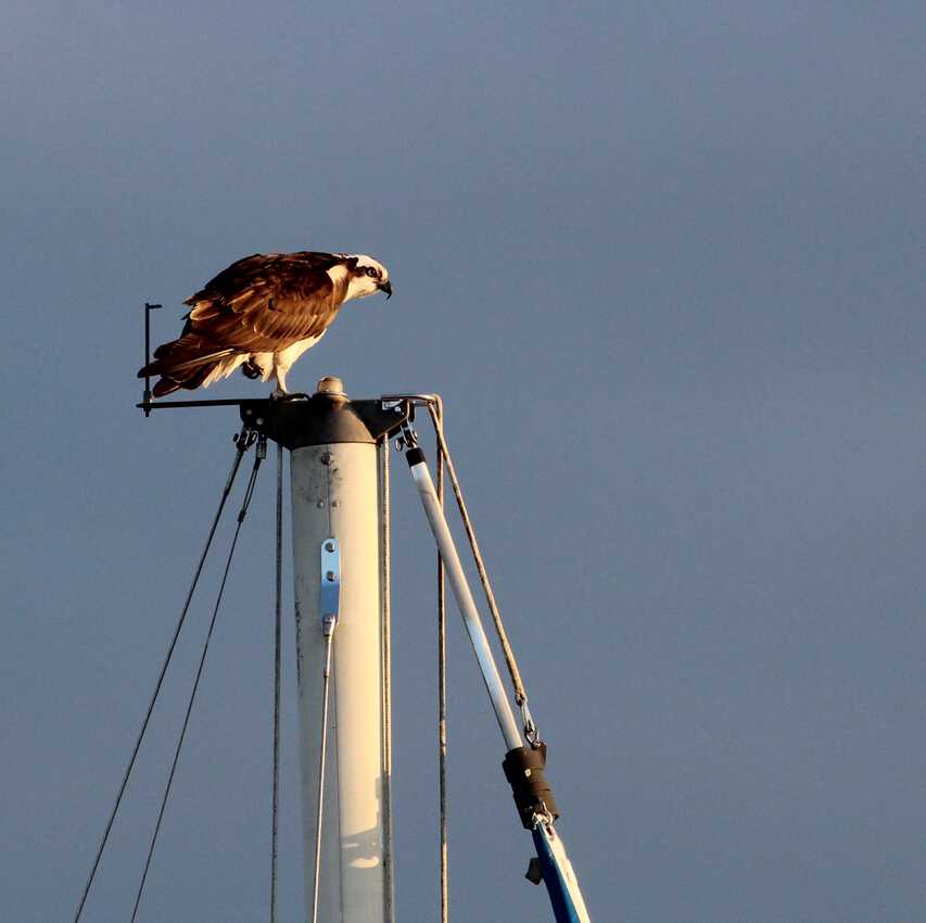 Osprey on top of sailboat mast in Whitehaven MD. . Delmarva Peninsula