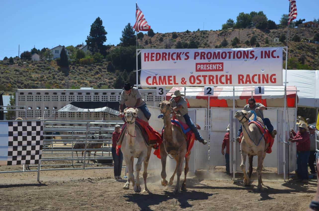 Camel and Ostrich Racing in Virginia City Nevada