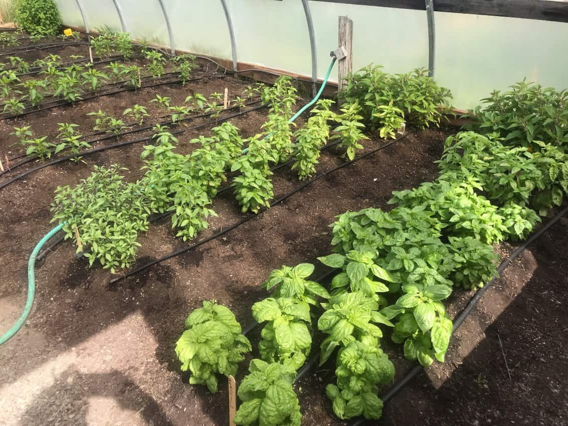 The food at Chico is a big deal. Here is their kitchen garden.