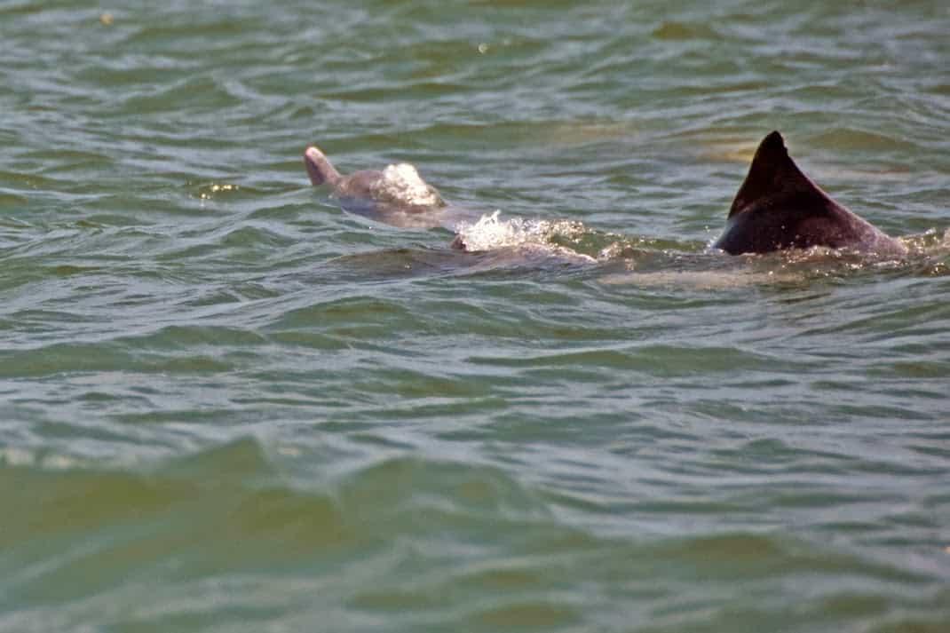 Irrawady dolphins in Sarawak.