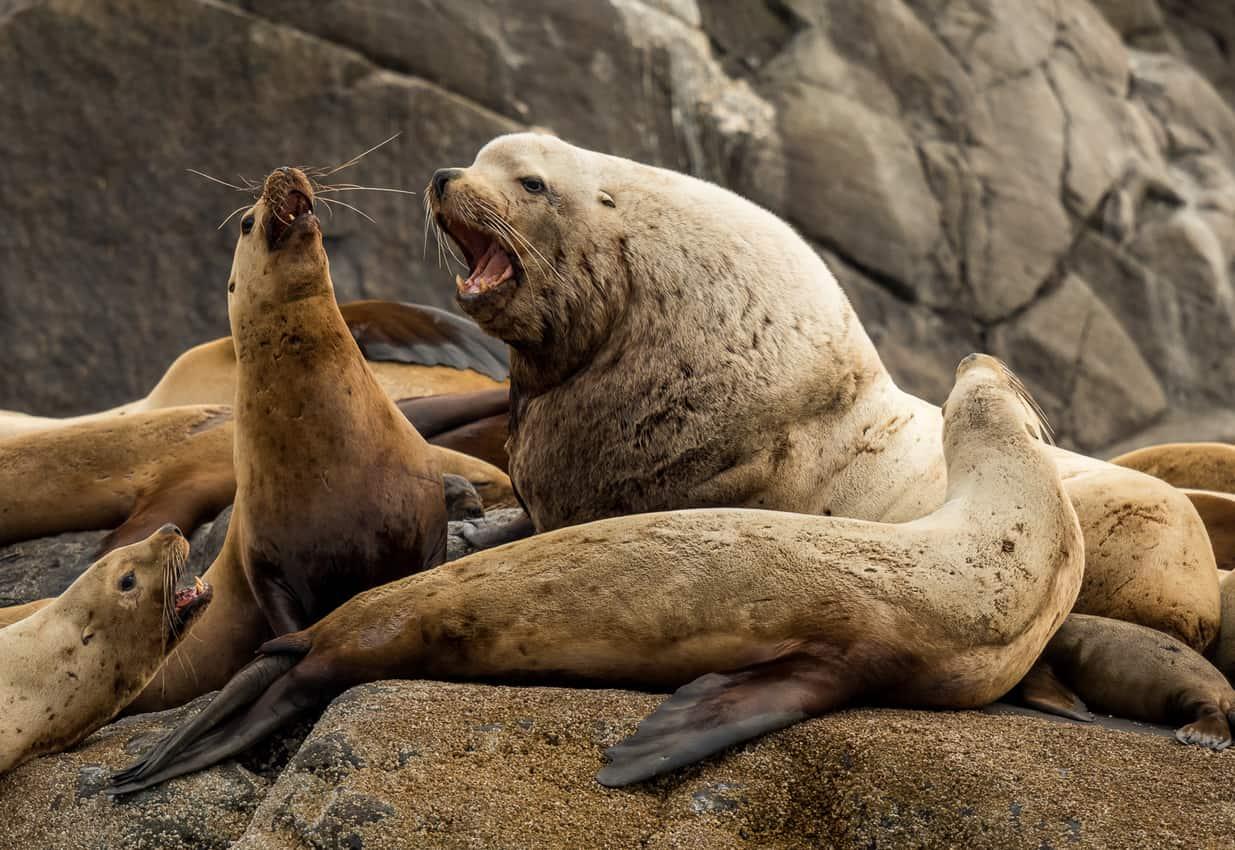 Roaring sea lions on a rock in Haida Gwaii
