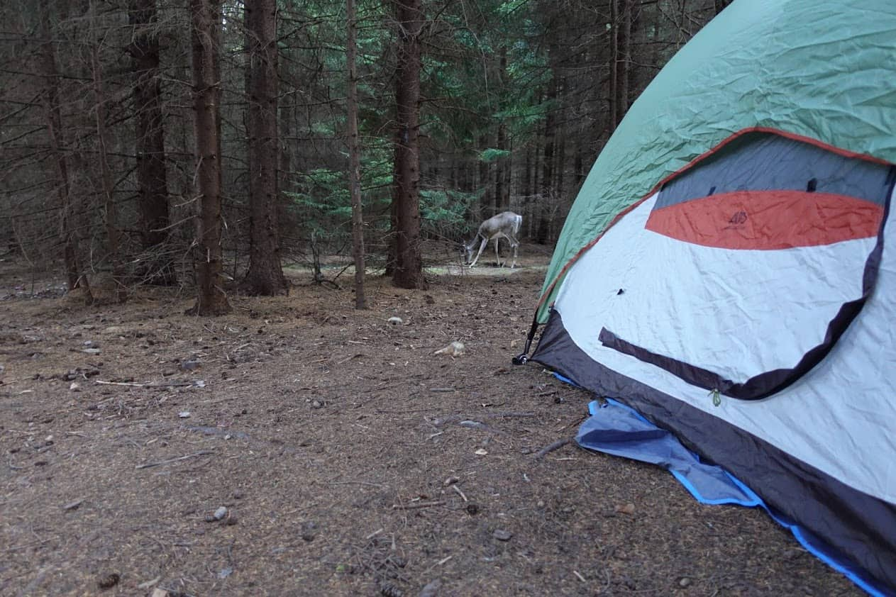 A deer next to a campsite in Dolly Sogs.