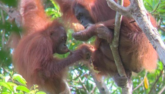 Mother, baby, and juvenile orangutan
