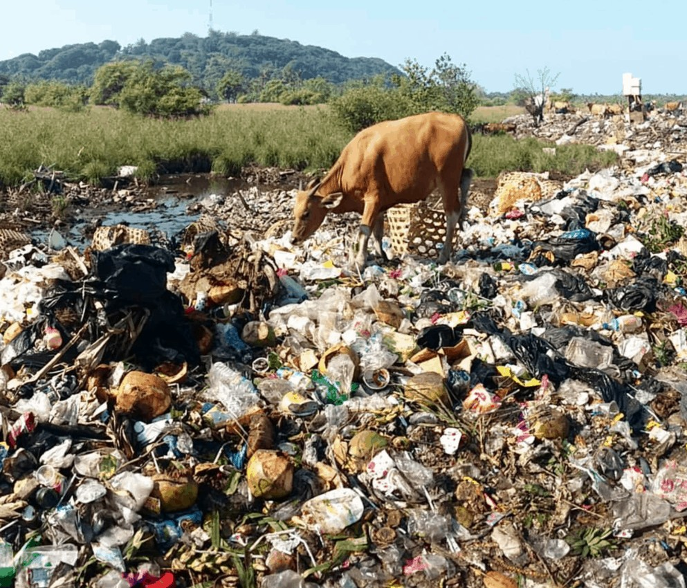 A cow in the overflowing garbage dump on Gili T (photo by Gili Eco Trust) overtourism is creating too much garbage.