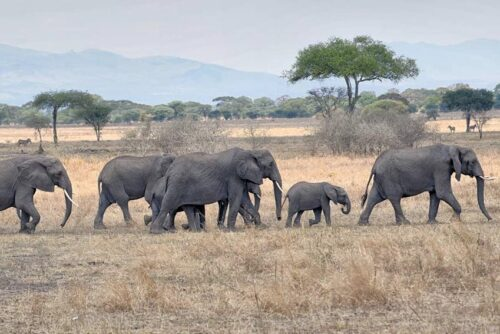Tanzania-Elephants-crossing
