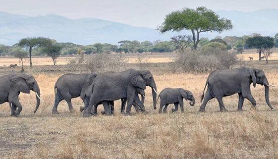 Tanzania-Elephants-crossing