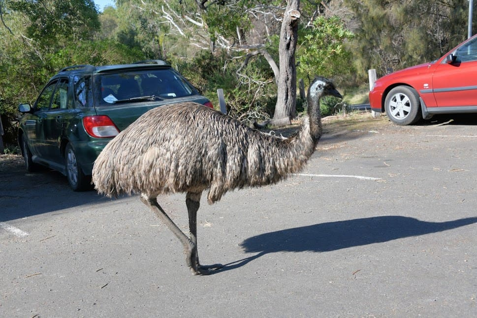 Emu in the parking lot at Tower Hill Wildlife Preserve