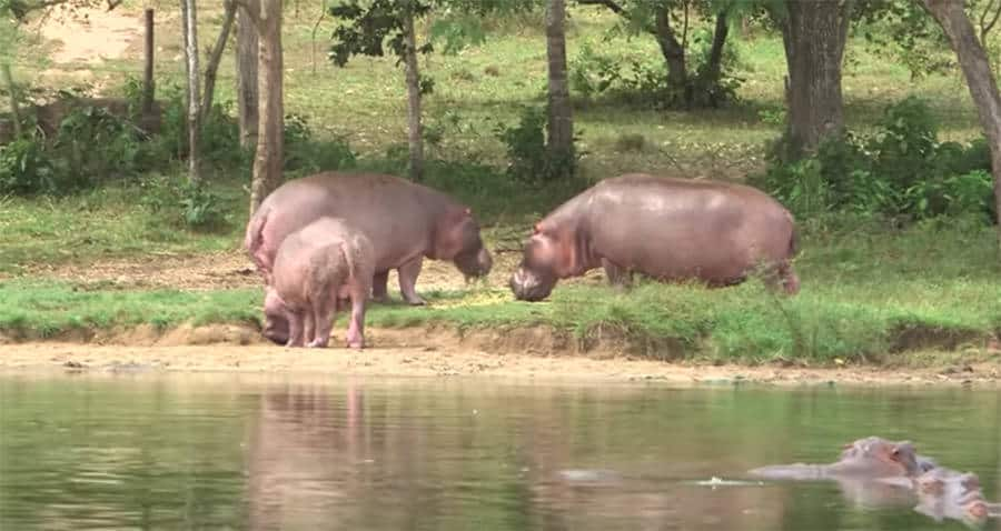 Colombian Hippos: Unnatural Terror or New Eco Attraction? 1