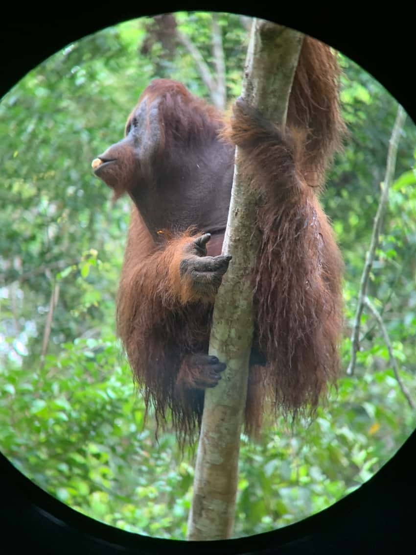 An orangutan poses for the camera.