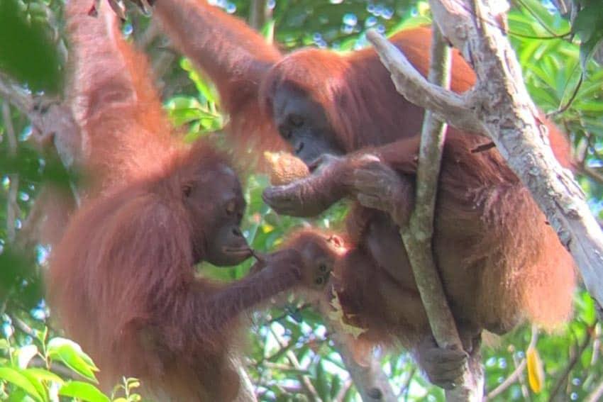 Orangutan Drama In Borneo
