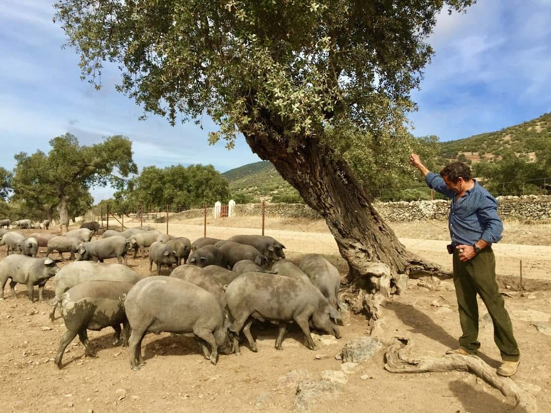 Black Iberian pigs on a farm outside Merida, Spain.