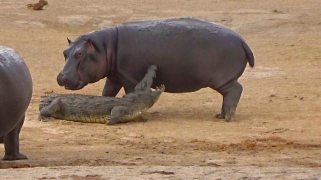 Colombian Hippos: Unnatural Terror or New Eco Attraction? 2