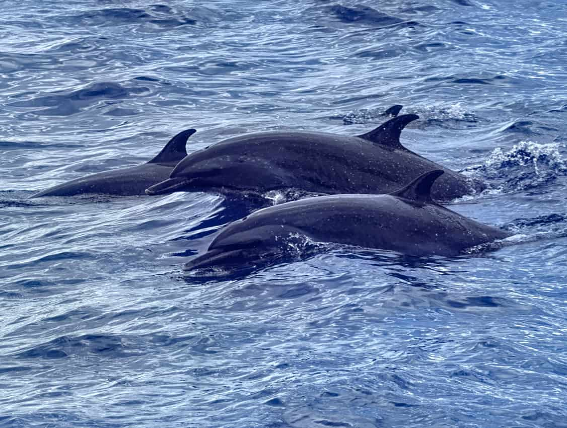 Dolphins on an excursion in Martinique
