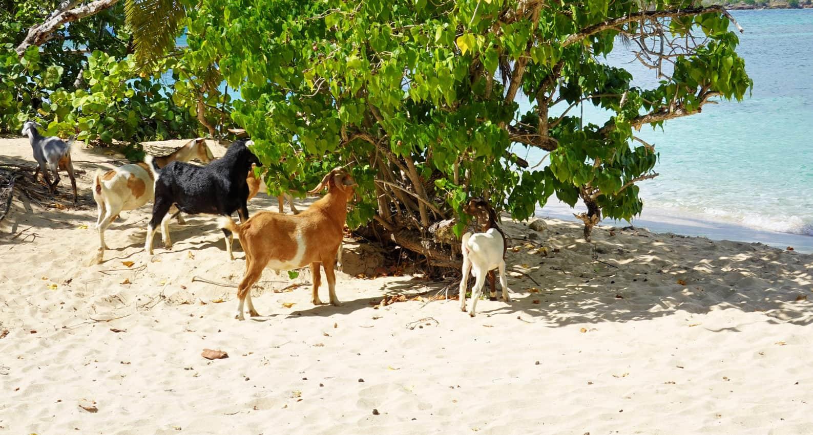 Goats do roam on Antigua beaches