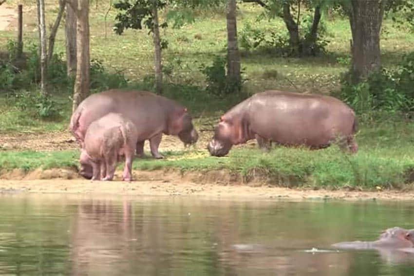 Colombian Hippos: Unnatural Terror or New Eco Attraction?