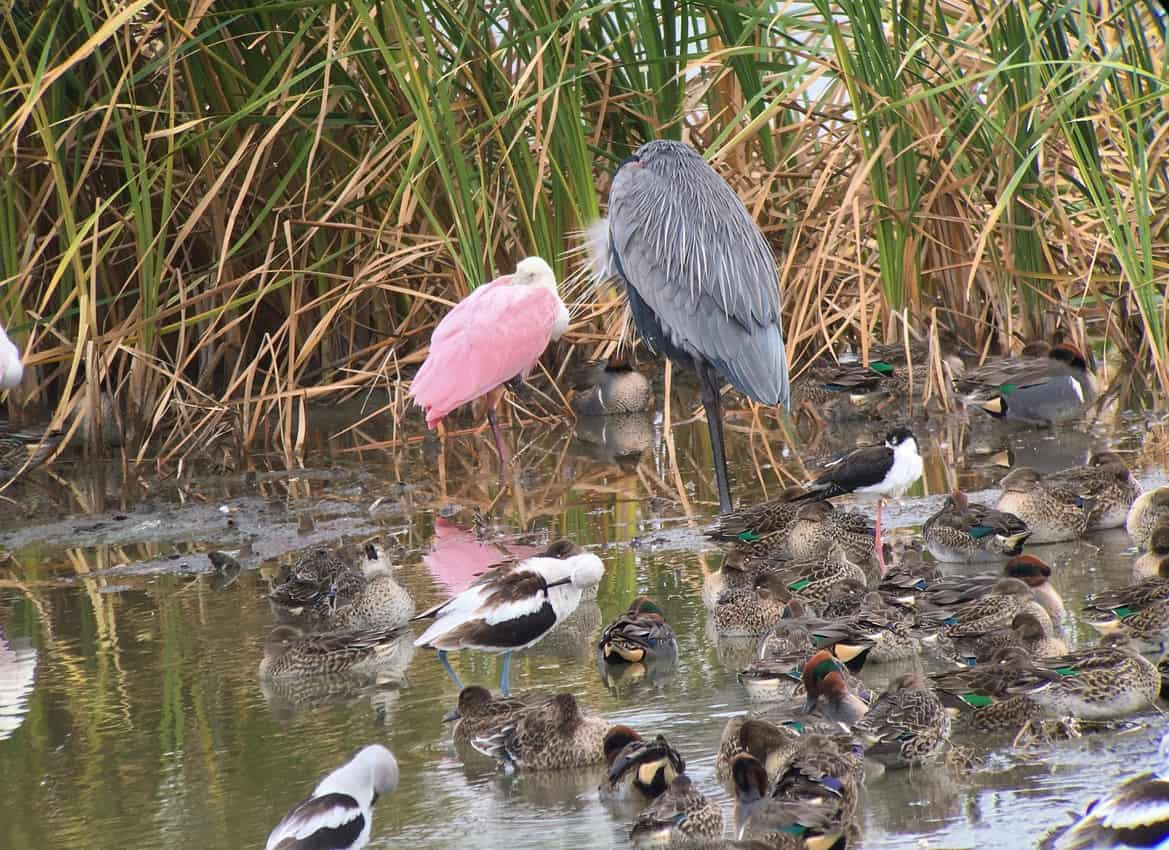 A Roseate Spoonbill and Great Blue Heron search for a meal in Charlie's Pasture. Photo courtesy of Ray Dillahunty