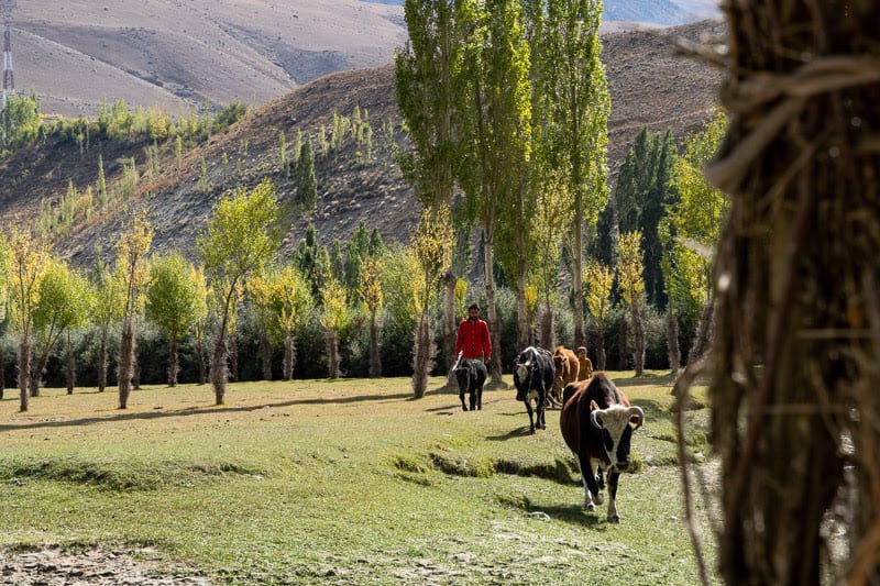 A local shepherd stands watch as his cattle graze nearby Phander Lake.