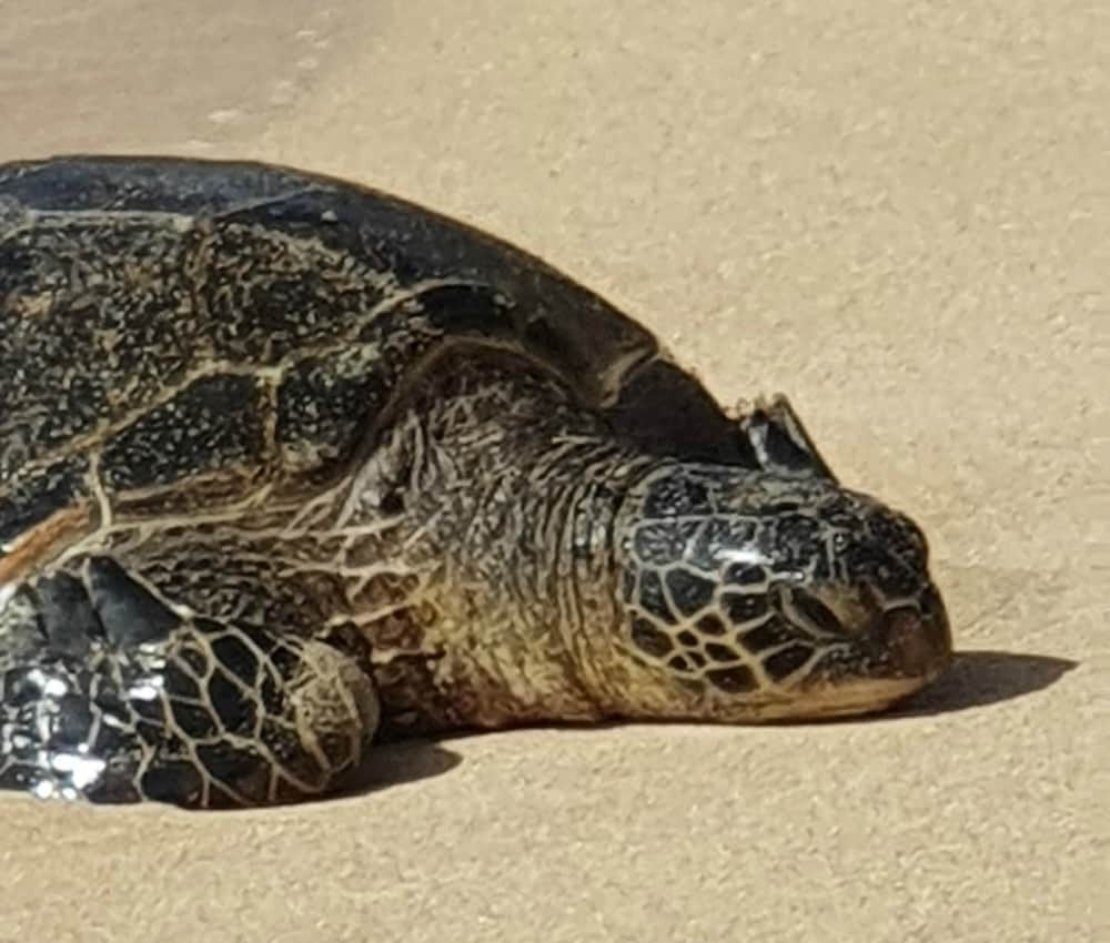 A turtle on the beach in Hawaii.