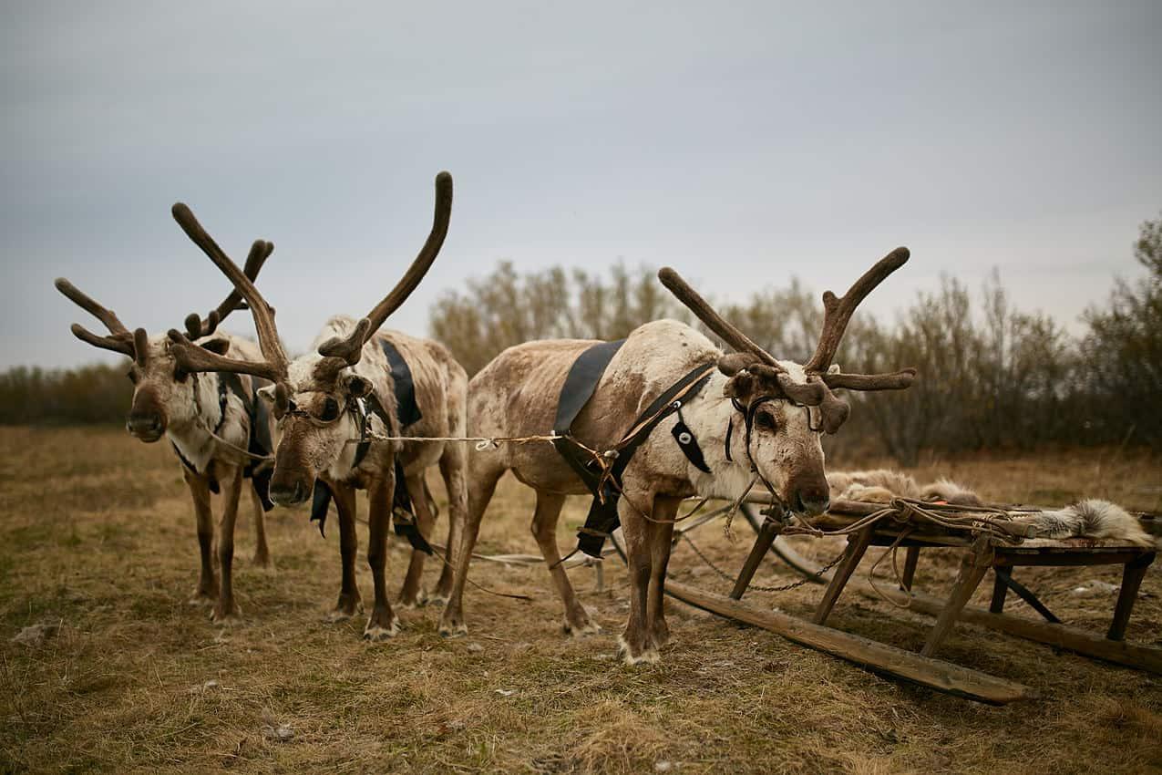 Reindeer in the Native Siberian North Village