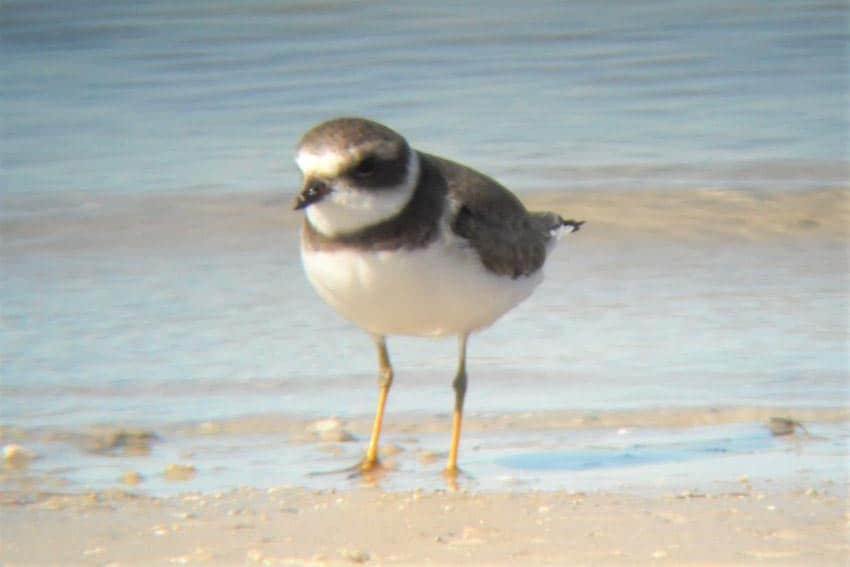 A piping plover in Corpos Christi, Texas
