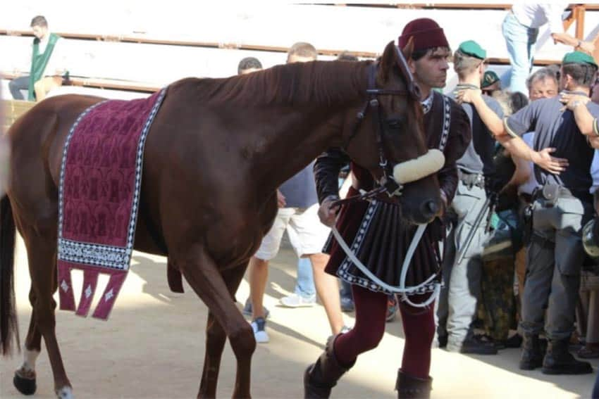 Horse preparing for the race, Il Palio in Siena, Italy.